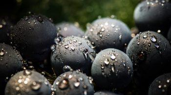 Vendanges vignoble bordelais Vendanges vignoble bordelais. C'est l'huere des vendages, les blancs sec en premier puis viennent les rouges et afin les blancs liquoreux.  -